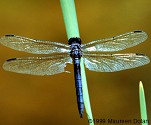 Slaty Skimmer (male), Libellula incesta - Slaty Skimmer (male), Libellula incesta Turner's Pond Milton, MA photographed 7/12/99