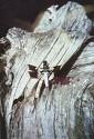 White-tailed Dragonfly, Plathemis lydia