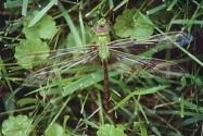 Green Darner, Anax junius