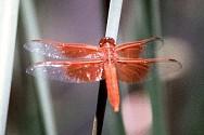 Flame Skimmer (AKA Red Skimmer), Libellula saturata