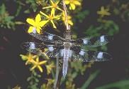 Twelve Spot Skimmer, Libellula pulchella - Twelve Spot Skimmer, Libellula pulchella Chautauqua County, NY