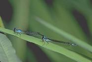 Bluet Damselflies (preparing to mate)