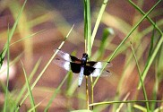 Widow Skimmer, Libellula luctuosa