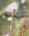 Unknown Dragonfly - Where taken: In tidal wetlands near Vancouver, British Columbia