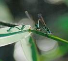 Rambur's Forktails, Ischnura ramburii - Loxahatchee, FL