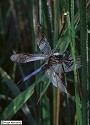 Blue Dasher (male), Pachydiplax longipennis