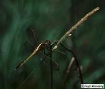 Spangled Skimmer, Libellula cyanea