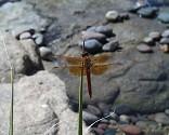 Flame Skimmer, Libellula saturata - Scottsdale, Arizona