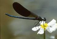 Calopteryx splendens xanthostoma - River Dordogne, France July 1986