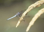 Orthetrum coerulescens - Provence, France June 1991