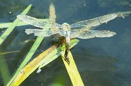 Anax imperator (female ovipositing) - Le Perche, France July 1983