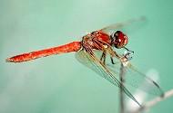 Cardinal Meadowhawk, Sympetrum illotum