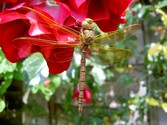 Dragonfly - I took the picture in my garden a few weeks ago. I'm unsure of its scientific name, sorry.