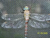Unknown - Sequim, WA - This picture was taken yesterday 7-29-09 on the inside of our screen door in Sequim, WA. I don't know what it is but it stayed around and seemed to thank us for letting him outside. We have a waterfall with two ponds attached about 900 gallons flowing all the time. We had two red dragonflies also but didn't get pictures yet. Can someone let me know what type of dragon fly this is?